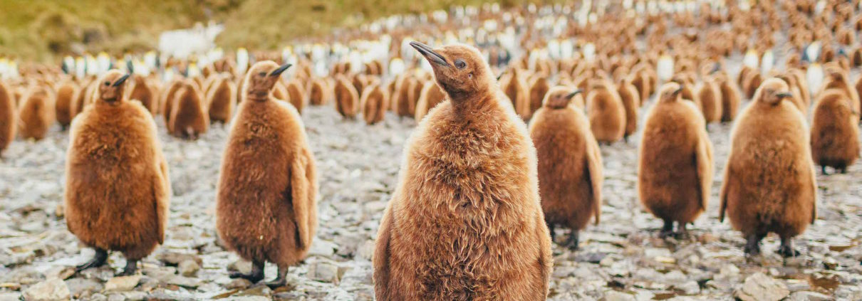 Penguin chicks, South Georgia