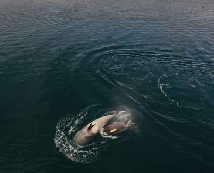 Orca, Antarctica