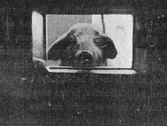 Antarctic pig