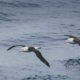 Albatross, polar front