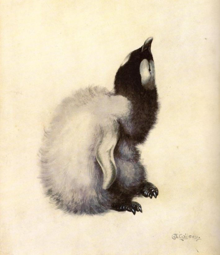 Emperor penguin chick, Edward Wilson